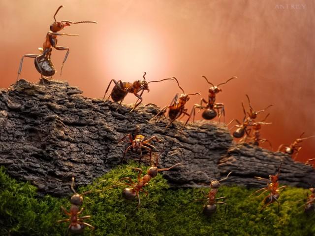 Andrey Pavlov - a hangyák világa (8)